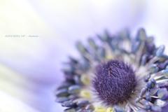 HANA・HANA 140  - Anemone -