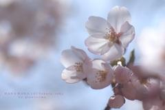 HANA・HANA 147 Sakura-saku