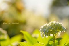 HANA-HANA   193    紫陽花