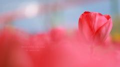 HANA・HANA 149 Tulip