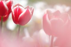 HANA-HANA 164  Tulip