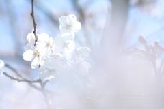 HANA・HANA 148 Sakura-saku