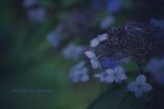 Ura-Hana  ♯1   Hydrangea