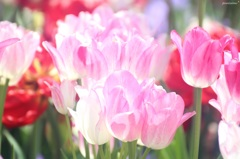 HANA・HANA 49 (Tulip - mahiru-no-hikari)