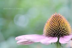 HANA-HANA 237  Echinacea