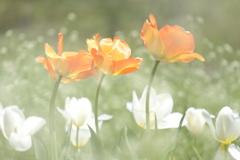 HANA-HANA  165   Tulip  - LULLABY -