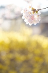 HANA-HANA  283  sakura-saku