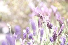 HANA-HANA  166   Lavender