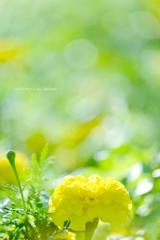 HANA-HANA 245  Marigold