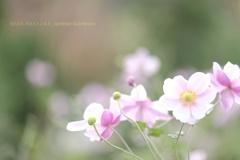 HANA-HANA 268  Anemone hupehensis