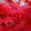 紅いファーのように