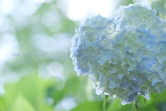 HANA-HANA   194    紫陽花