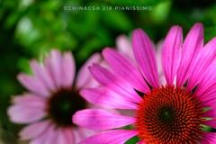 HANA-HANA 218  Echinacea