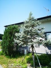 ホプシーという名の木