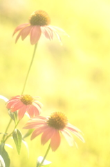 HANA・HANA 104 (Echinacea  #1)