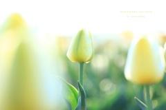 HANA・HANA 152 Tulip