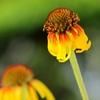 HANA・HANA 115 (Echinacea)