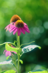 HANA・HANA 86 (Echinacea)