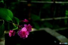 微笑みの紫陽花