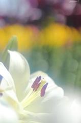 HANA・HANA 74 (Lily shiny)