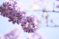 HANA-HANA  168   藤の花