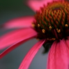 HANA・HANA 132 (Echinacea)