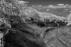 近場の桜並木