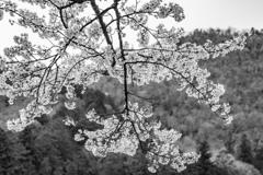 山を背に仰ぎ見る桜が映える