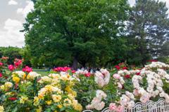 薔薇 庄内緑地公園