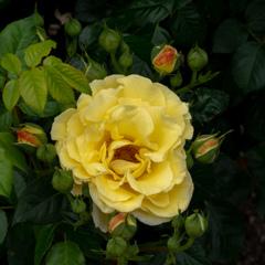 薔薇 王子バラ園