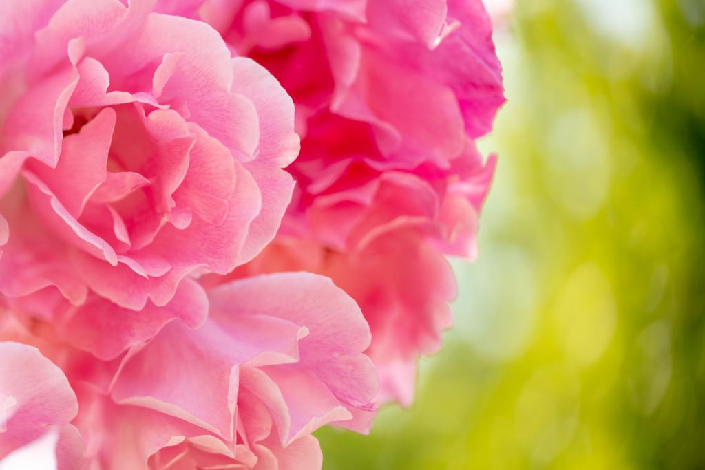薔薇 鶴舞公園