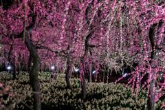 ライトアップ 水仙と枝垂れ梅