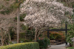 古木の梅 見事に開花