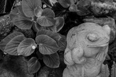 Begonia cucultata