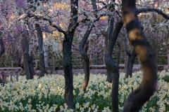 水仙 枝垂れ梅 祭
