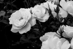 白薔薇 モノクロで