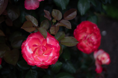 薔薇 コウシンバラ