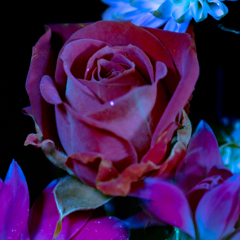 Like a Dry Rose Under The Ultraviolet