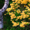 黄色いツツジに寄り添う白樺