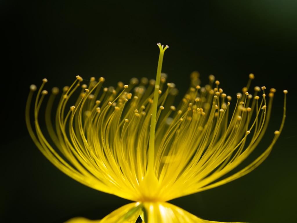ビョウヤナギの花