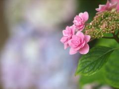 色は紫陽花、姿は洋花