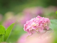 満開前の淡い花色