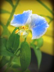 メガネツユクサの花