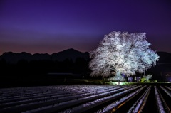 里の一本夜桜