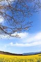 菜花は咲いたが桜はまだでした…
