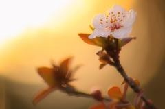 Evening cherry