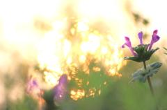 朝陽射す野原