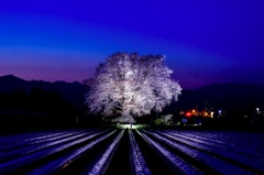 Cherry of the magic hour