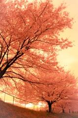 桜色の夕焼け