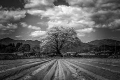 里の一本桜